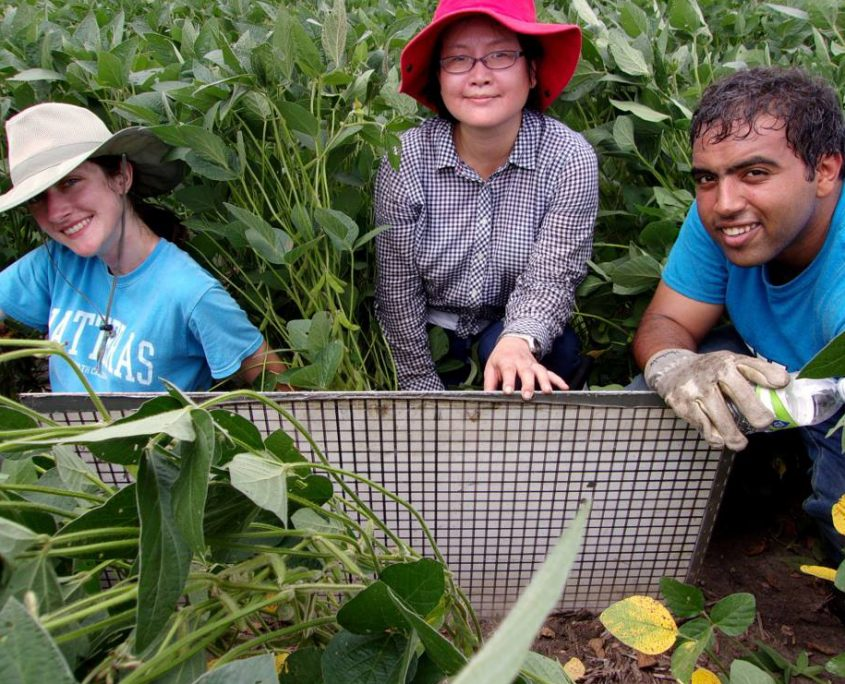 An IFC graduate student conducts fieldwork in an Iowa soybean field with two female colleagues.